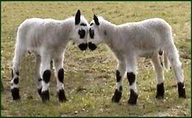 schapen van een andere stal
