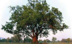 Typologie in de natuur: de Vijgenboom
